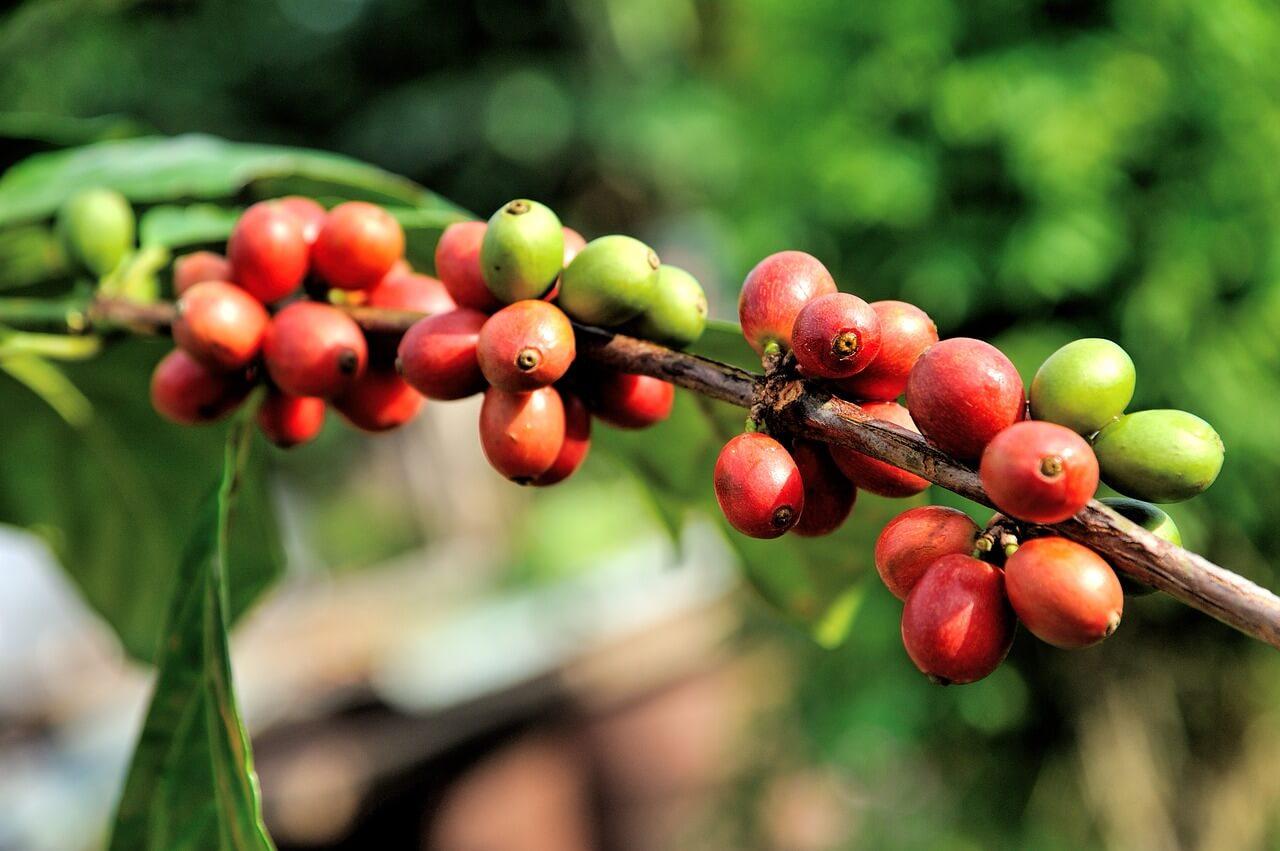 kaffee anbau